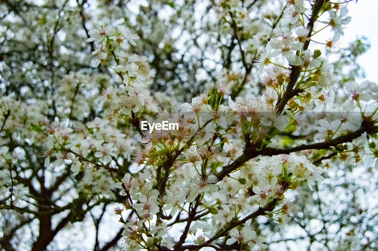 flower, blossom, fragility, tree, beauty in nature, springtime, branch, growth, apple blossom, nature, freshness, botany, white color, apple tree, orchard, cherry tree, twig, no people, petal, low angle view, day, backgrounds, outdoors, spring, close-up, flower head, blooming