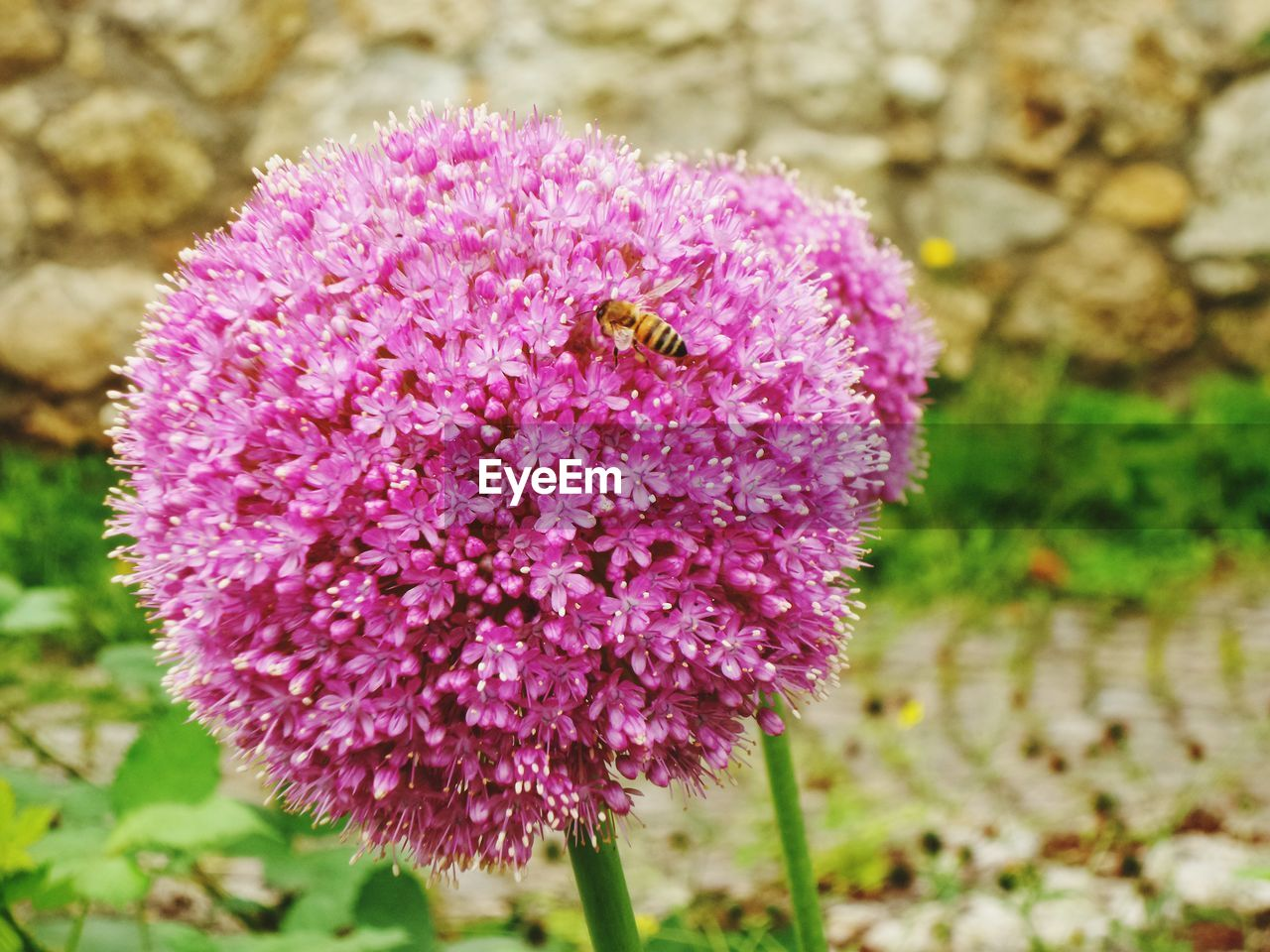 flower, one animal, animal themes, insect, growth, nature, purple, plant, beauty in nature, petal, animals in the wild, fragility, day, no people, focus on foreground, flower head, field, outdoors, close-up, bee, blooming, freshness