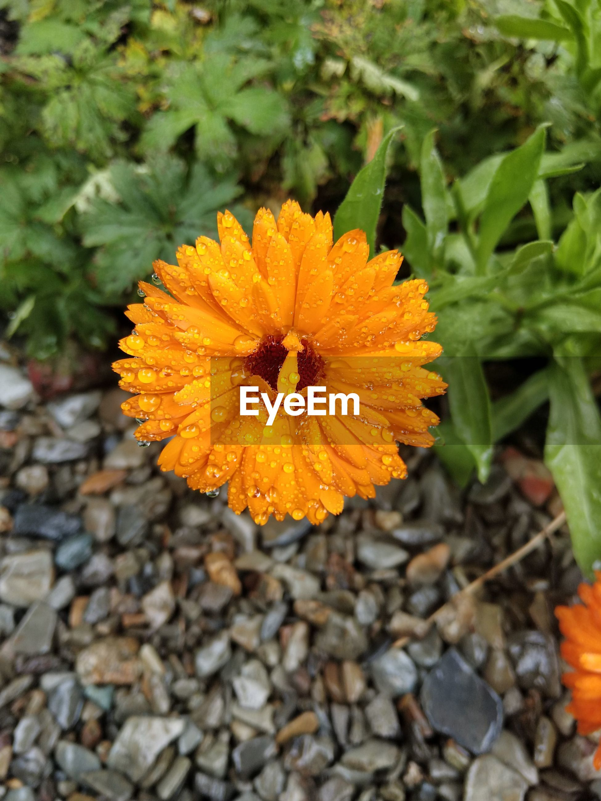 Close-up of wet orange flower