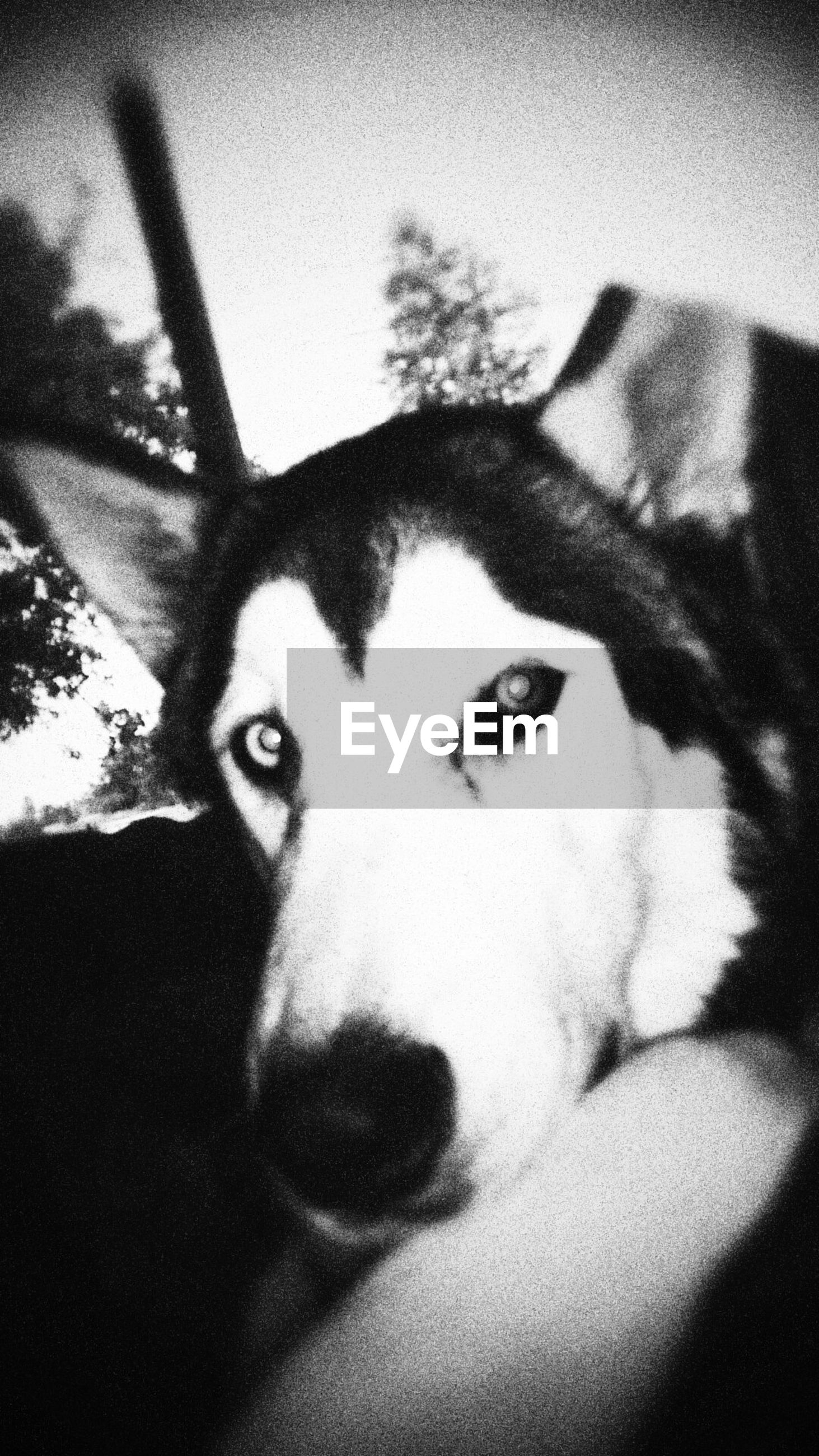 pets, domestic animals, one animal, animal themes, dog, mammal, portrait, looking at camera, indoors, close-up, animal head, animal body part, home interior, front view, relaxation, auto post production filter, headshot, staring, no people