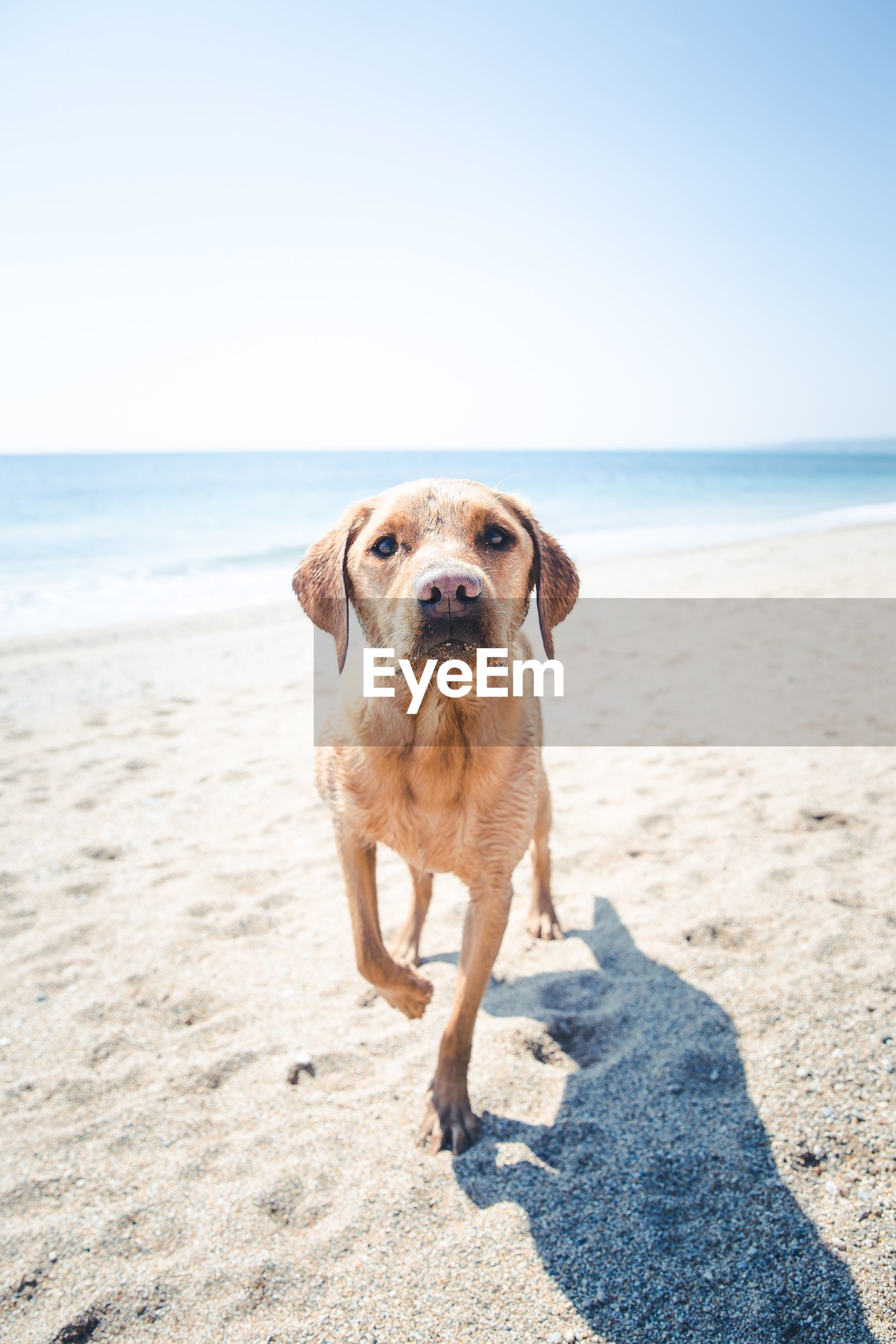 Portrait of dog walking on sand at beach against clear sky