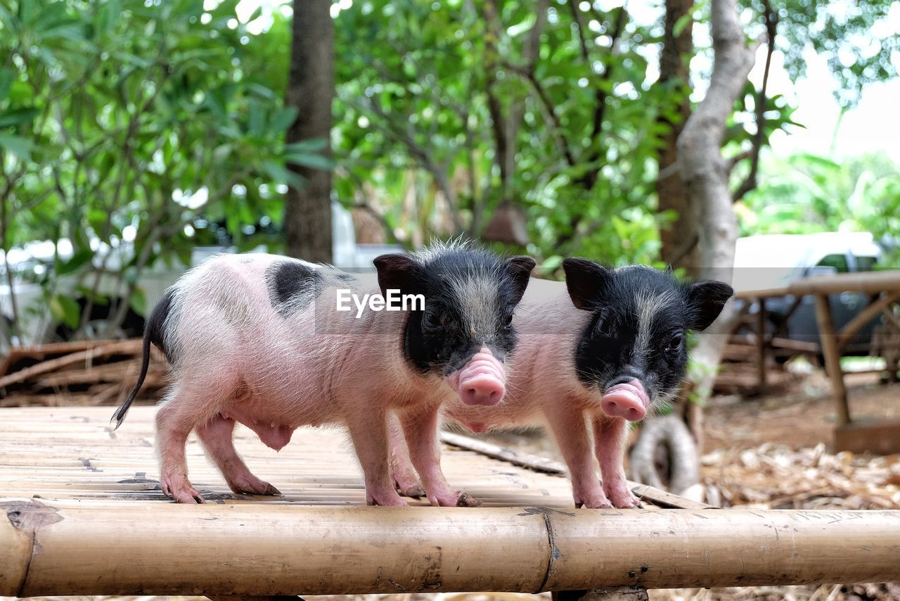 mammal, animal themes, animal, domestic, pets, domestic animals, group of animals, vertebrate, two animals, young animal, no people, focus on foreground, day, tree, pig, outdoors, nature, close-up, plant, whisker, animal head