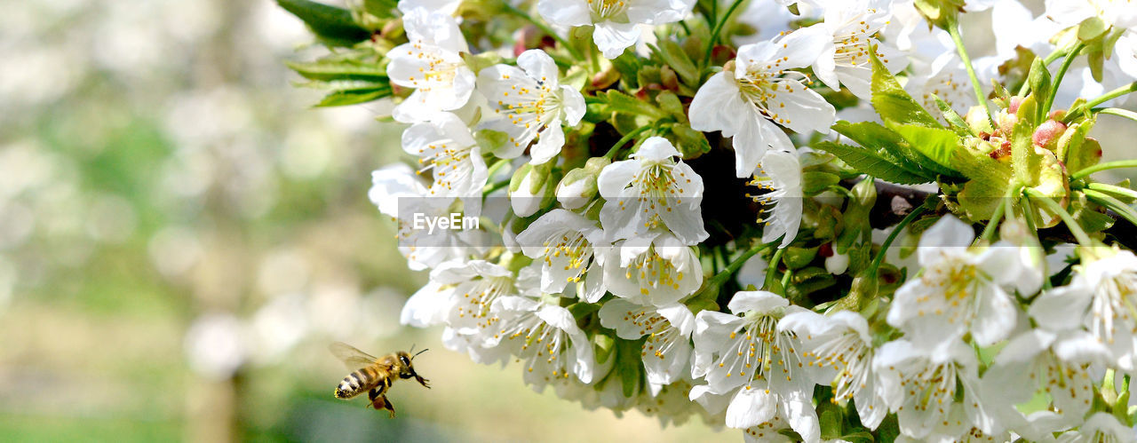 flowering plant, flower, plant, invertebrate, vulnerability, fragility, beauty in nature, insect, freshness, animals in the wild, animal themes, animal wildlife, close-up, growth, animal, petal, white color, flower head, one animal, bee, no people, pollination, outdoors