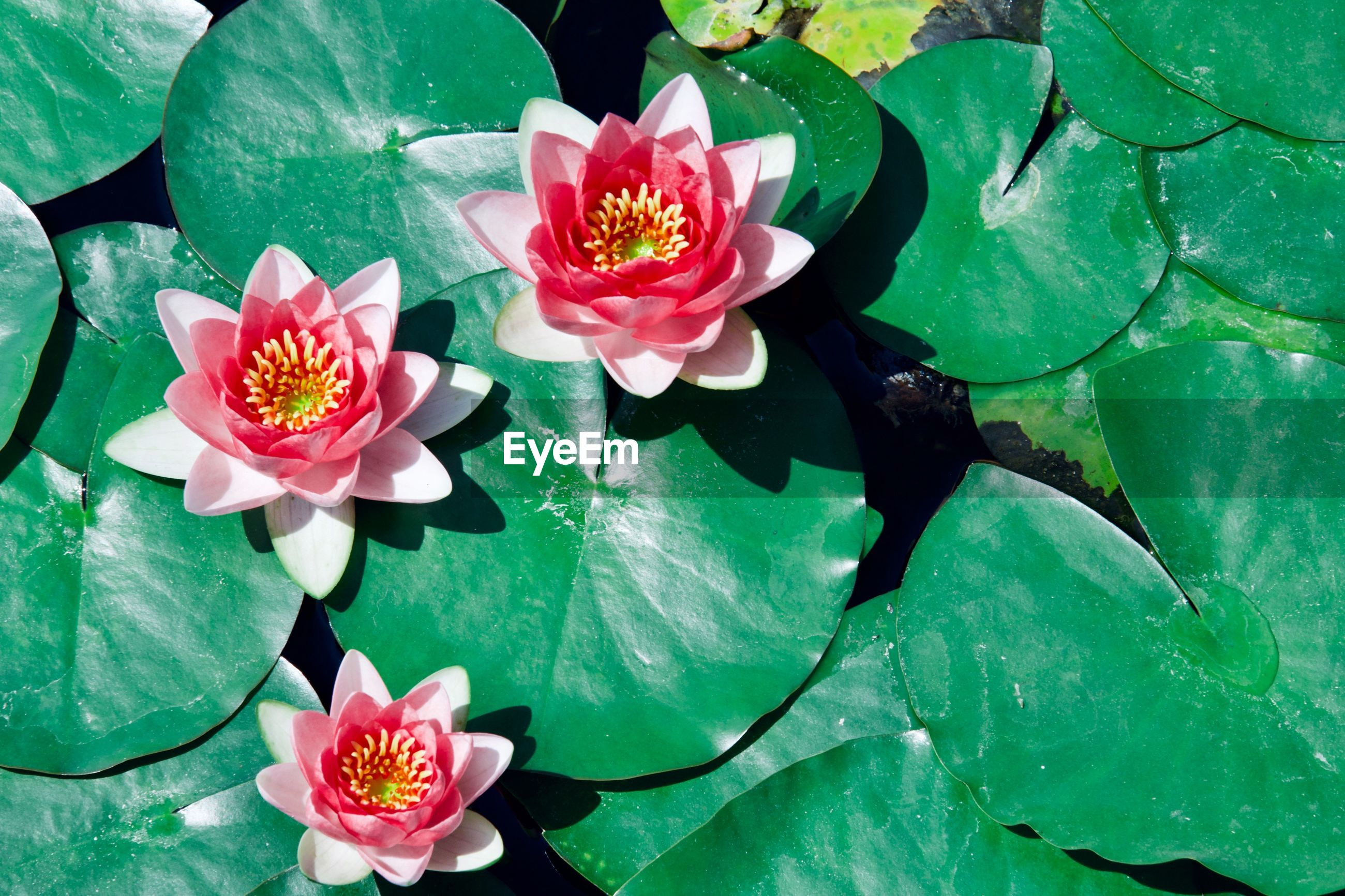 flower, flowering plant, plant, beauty in nature, freshness, leaf, fragility, plant part, vulnerability, petal, flower head, inflorescence, growth, pink color, nature, water lily, close-up, water, pond, high angle view, floating on water, lotus water lily, outdoors, no people, pollen