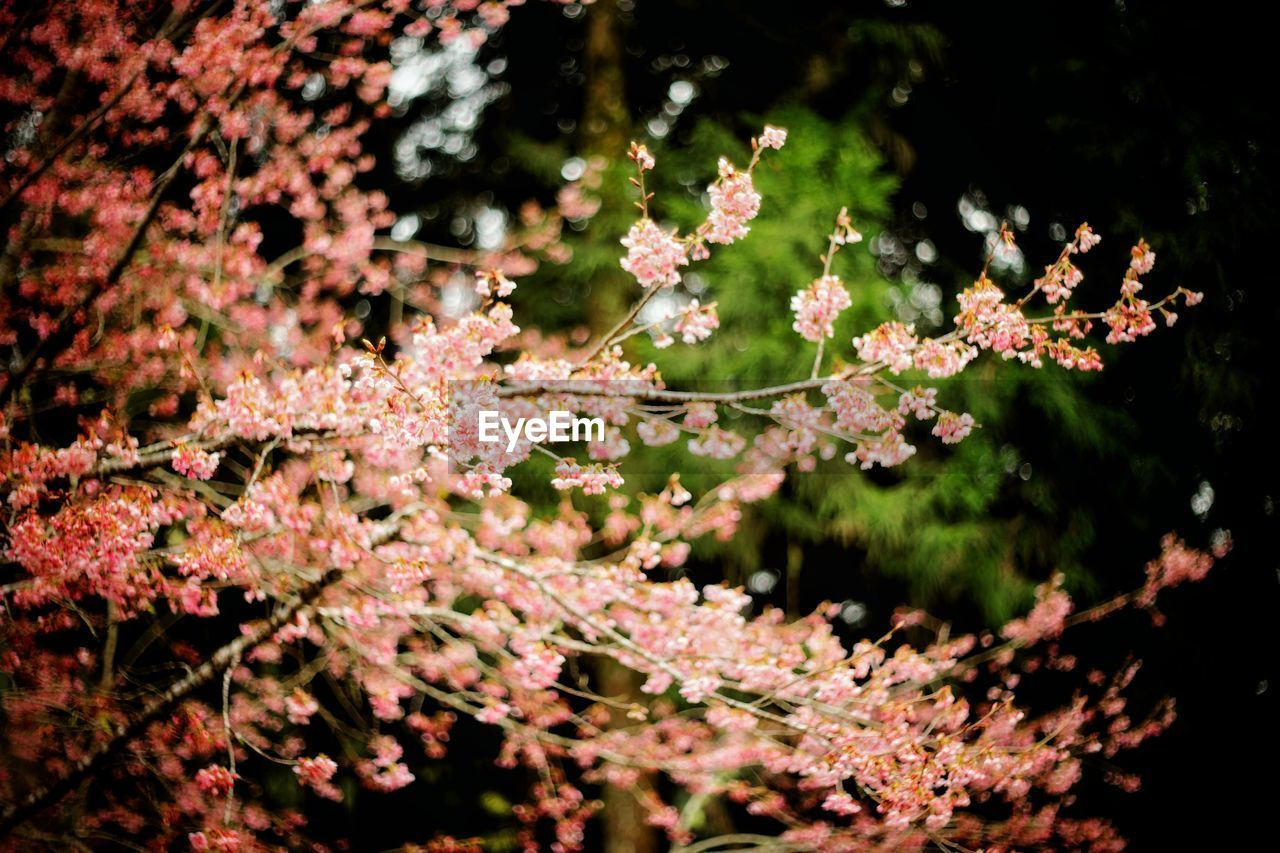 plant, growth, beauty in nature, flower, flowering plant, freshness, fragility, tree, selective focus, nature, close-up, day, vulnerability, no people, outdoors, branch, blossom, tranquility, pink color, focus on foreground, springtime, cherry blossom, flower head, cherry tree, spring