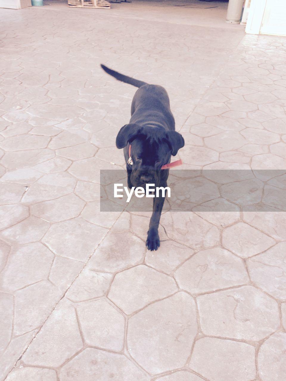 Cute Black Labrador Walking On Tile Floor