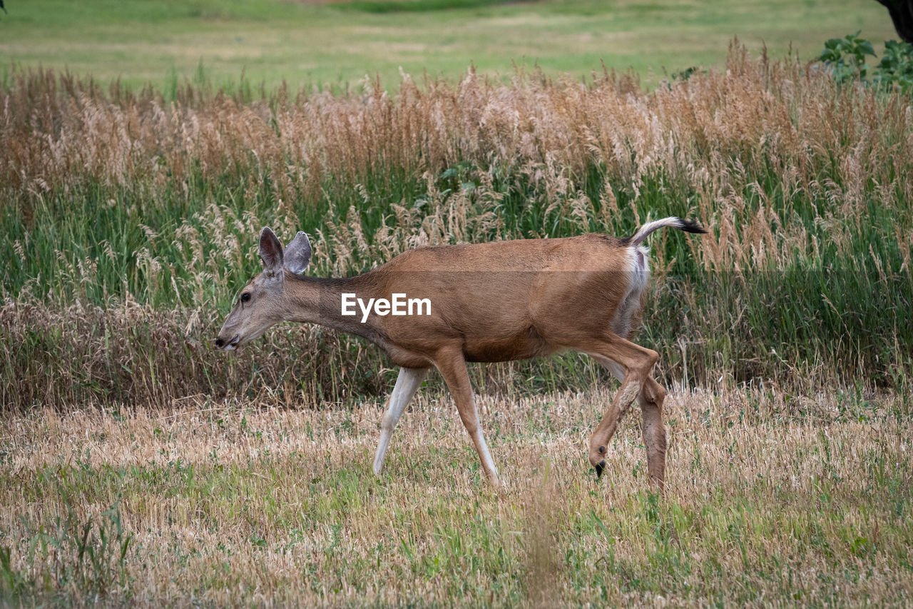 animal wildlife, animals in the wild, side view, grass, one animal, plant, mammal, full length, land, field, vertebrate, nature, no people, day, walking, environment, outdoors, herbivorous, profile view