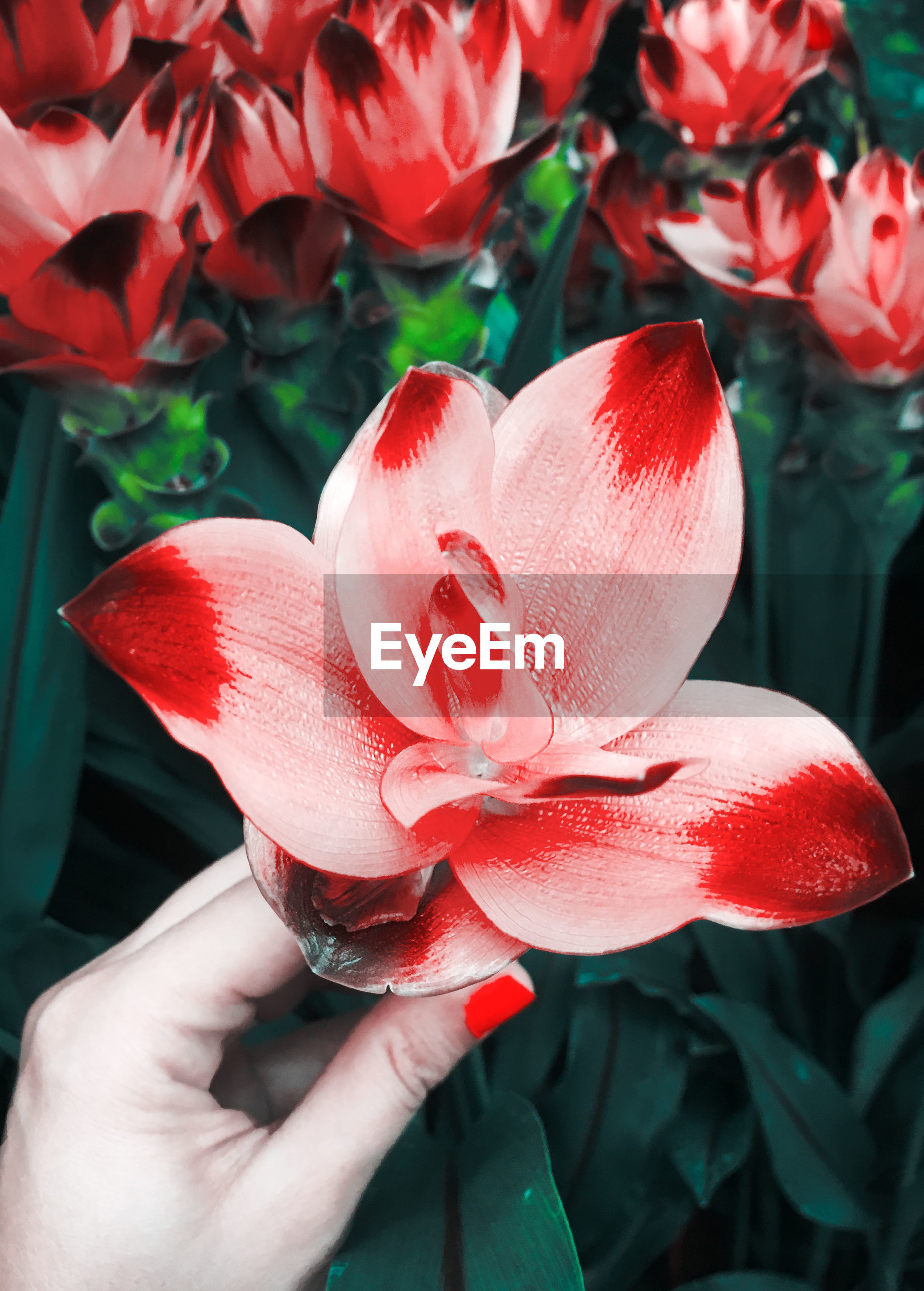 Cropped hand of woman holding red flower