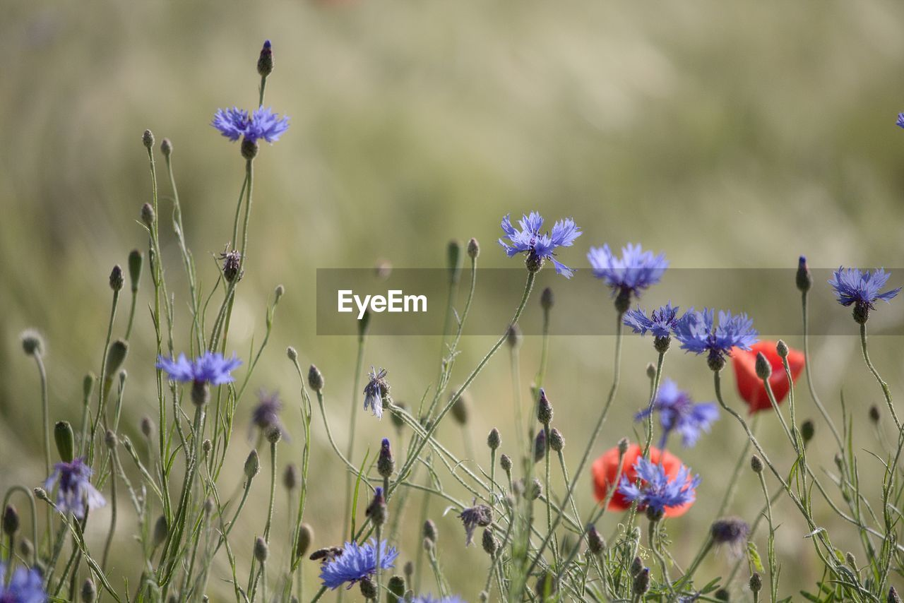 flowering plant, flower, plant, fragility, vulnerability, beauty in nature, growth, freshness, petal, purple, close-up, nature, flower head, field, inflorescence, land, no people, day, selective focus, plant stem, lavender