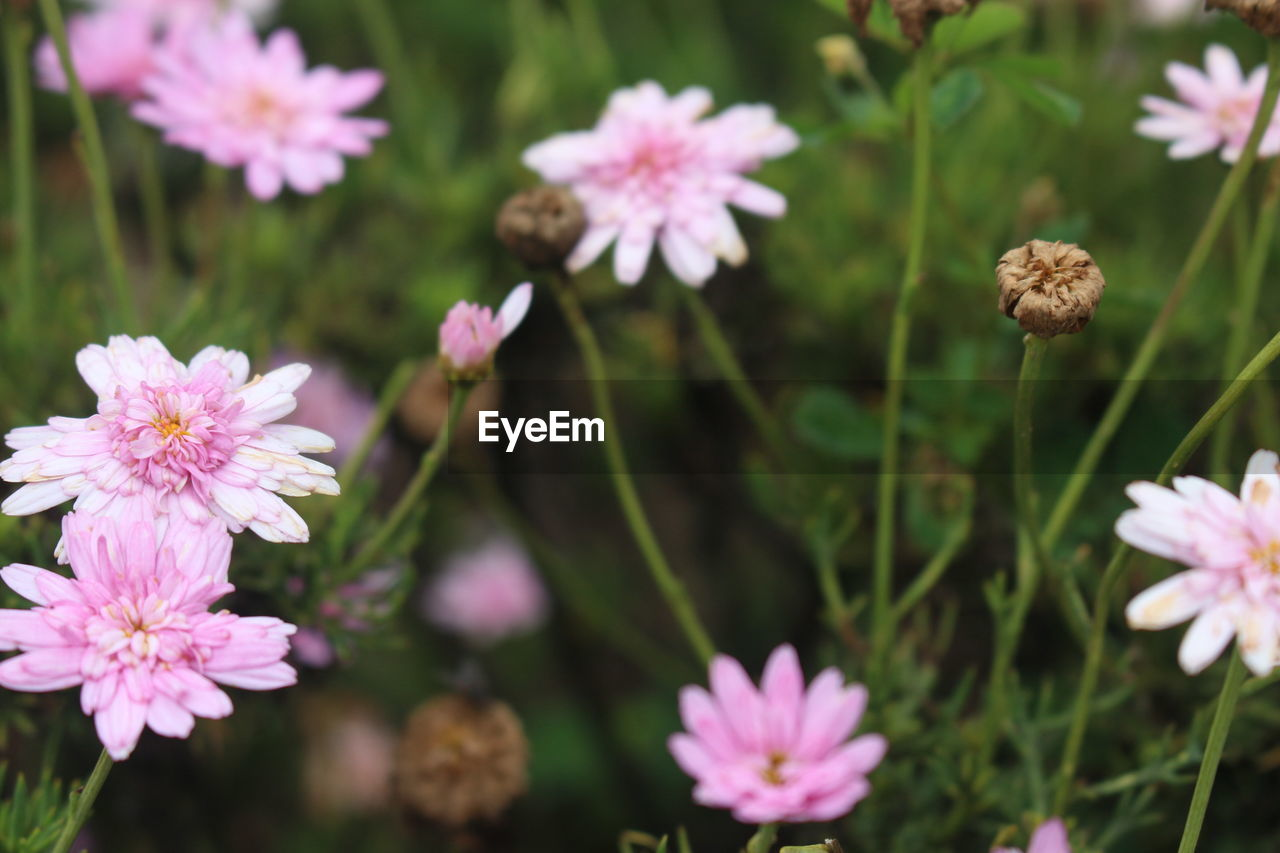 flower, flowering plant, plant, fragility, freshness, beauty in nature, vulnerability, growth, pink color, petal, flower head, inflorescence, close-up, no people, nature, day, focus on foreground, selective focus, field, outdoors