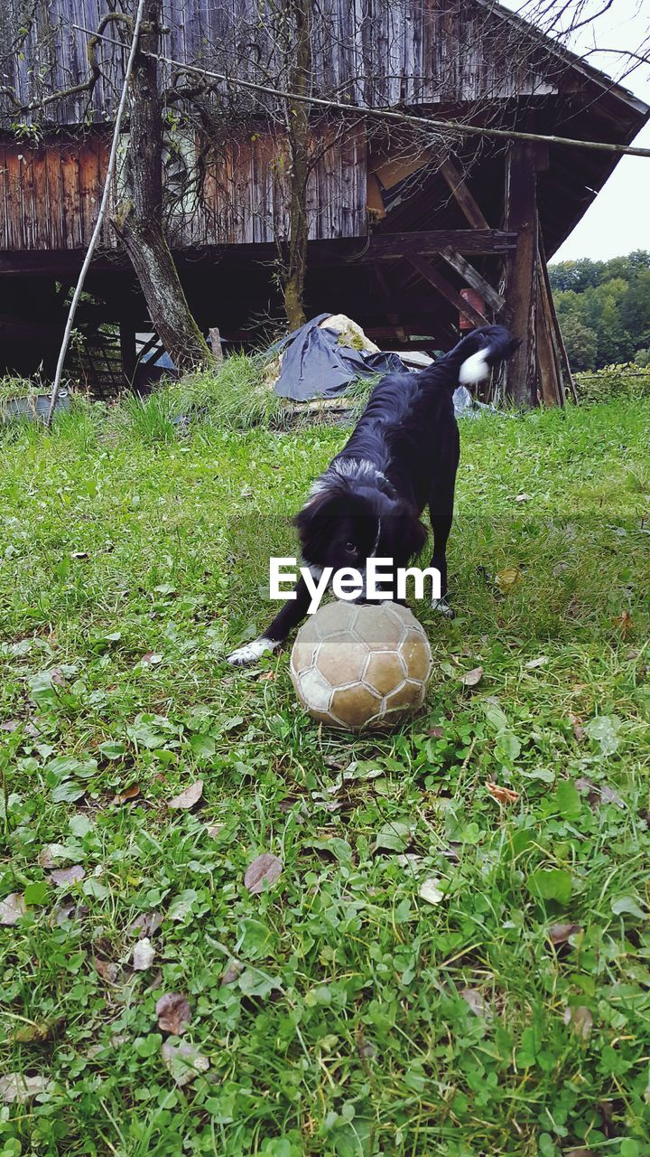 Dog Playing With Soccer Ball On Grassy Field