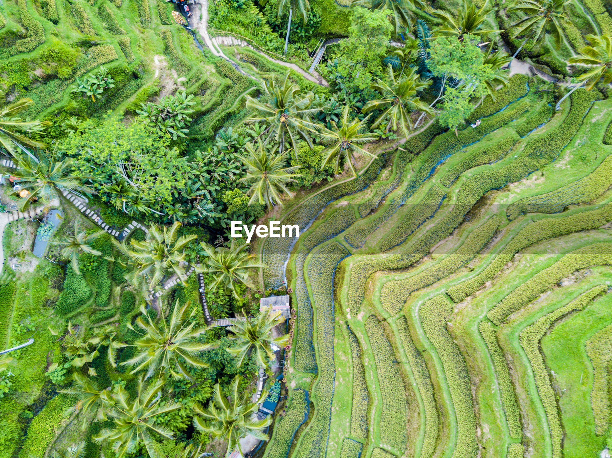 High angle view of rice paddy