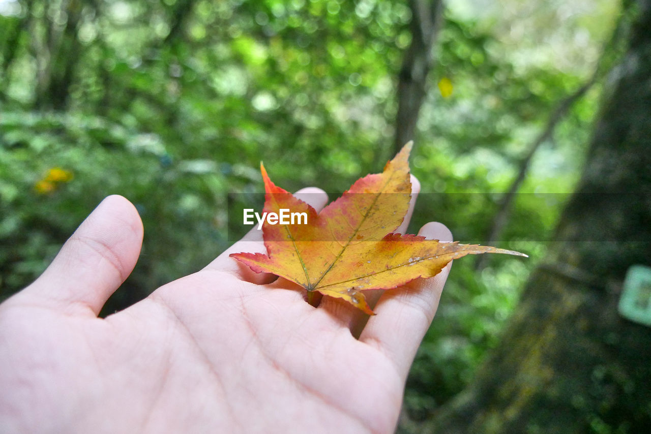 Cropped image of person holding maple leaf in forest