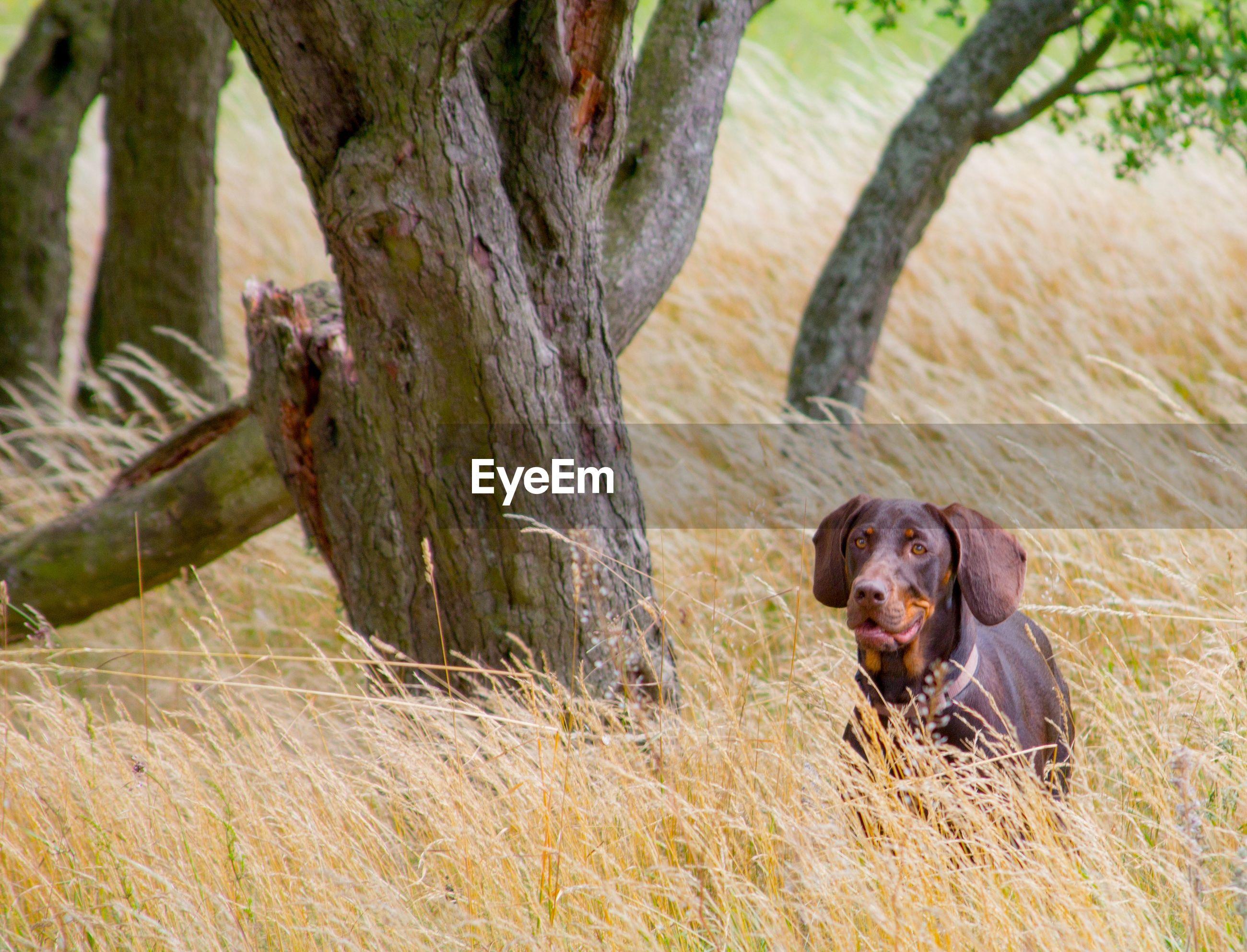 Portrait of polish hunting dog amidst plants on field