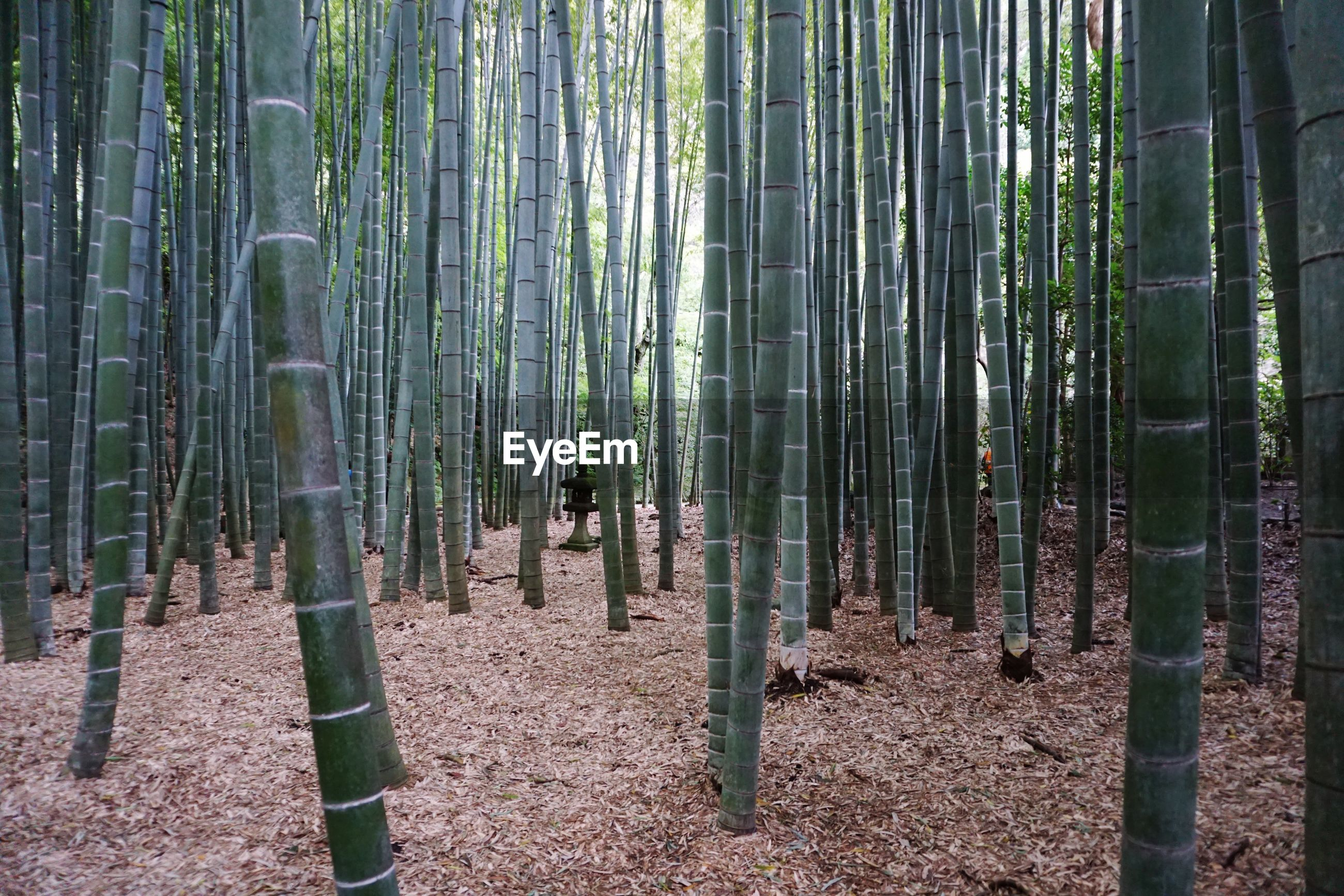forest, tree, plant, land, growth, bamboo, bamboo - plant, bamboo grove, beauty in nature, tranquility, trunk, tree trunk, nature, day, woodland, no people, non-urban scene, tranquil scene, outdoors, green color