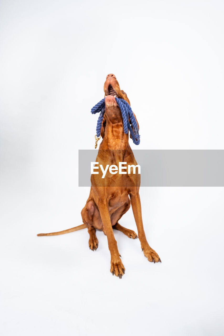 one animal, mammal, domestic animals, domestic, pets, white background, canine, vertebrate, dog, copy space, studio shot, no people, brown, full length, looking, nature, day