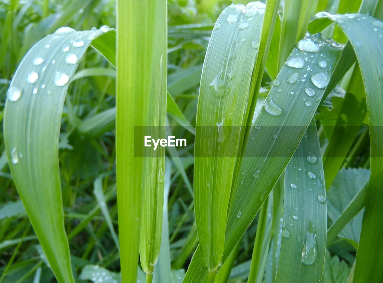 green color, drop, growth, leaf, water, nature, wet, plant, close-up, beauty in nature, freshness, raindrop, no people, outdoors, grass, day, fragility