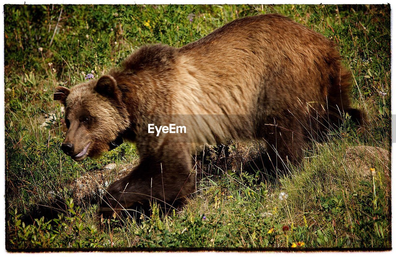 grass, one animal, animals in the wild, bear, no people, grizzly bear, animal themes, animal wildlife, day, outdoors, side view, nature, mammal