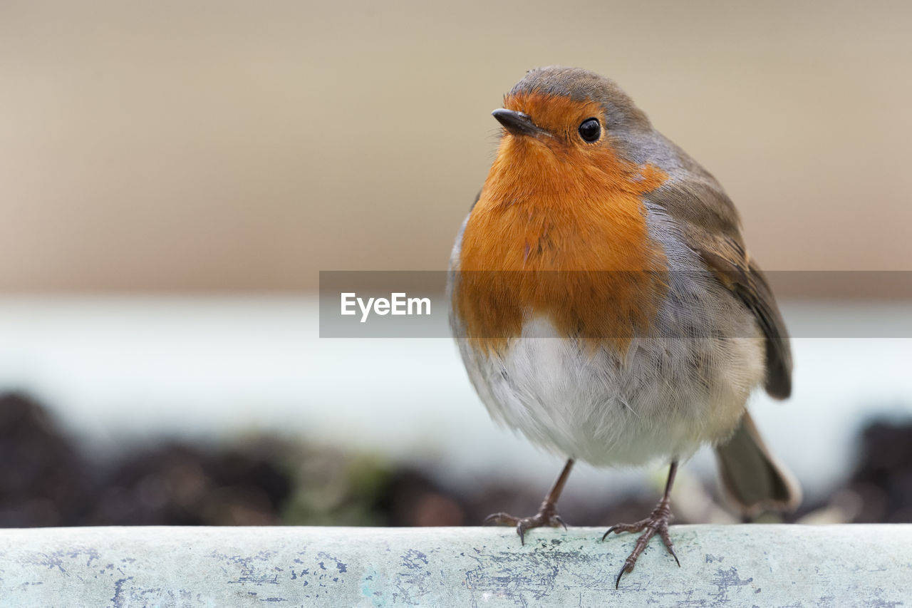 Close-Up Of Robin Perching On Retaining Wall