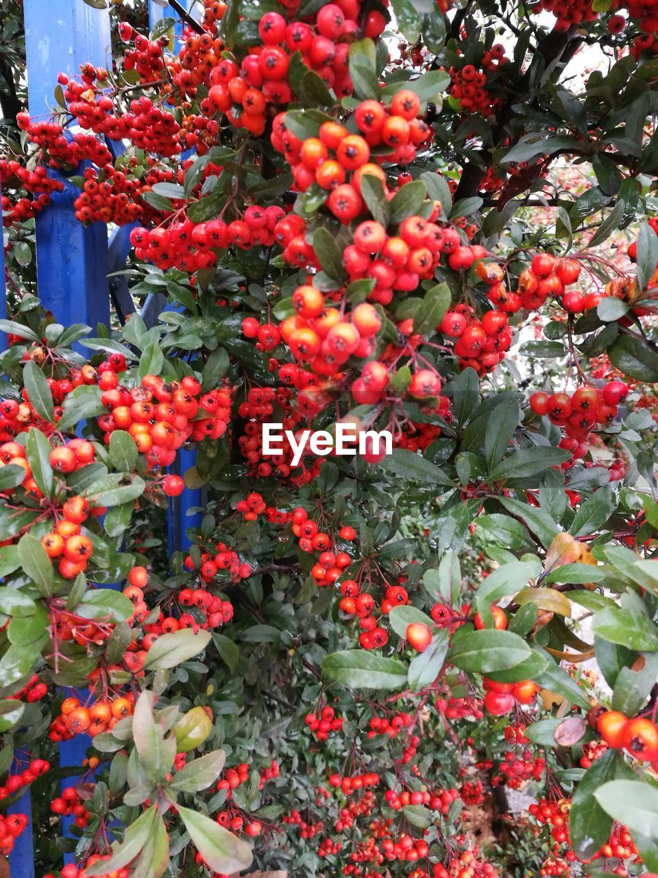 growth, plant, freshness, flowering plant, beauty in nature, flower, red, fruit, nature, no people, day, food and drink, plant part, food, vulnerability, healthy eating, close-up, leaf, fragility, berry fruit, outdoors, rowanberry, ripe