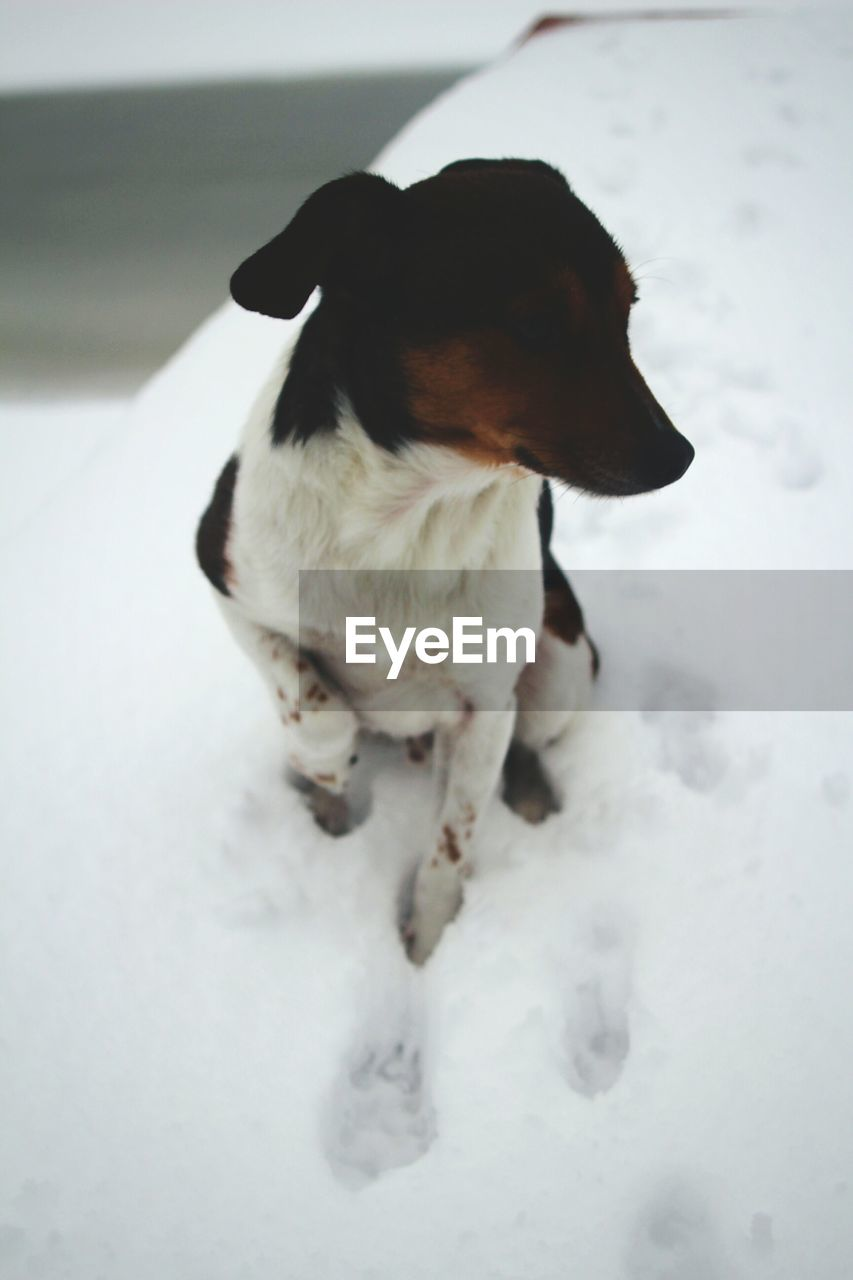 dog, pets, domestic animals, one animal, animal themes, mammal, standing, snow, no people, day, outdoors, nature, beagle, close-up