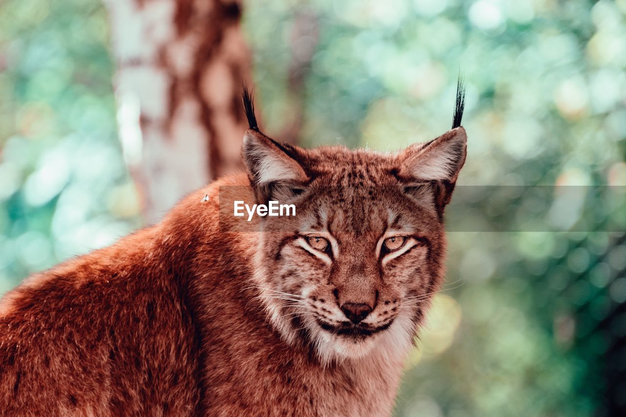 animal themes, focus on foreground, one animal, animal, mammal, animal wildlife, animals in the wild, portrait, no people, day, looking at camera, feline, vertebrate, big cat, tree, close-up, cat, animal body part, whisker, nature, animal head