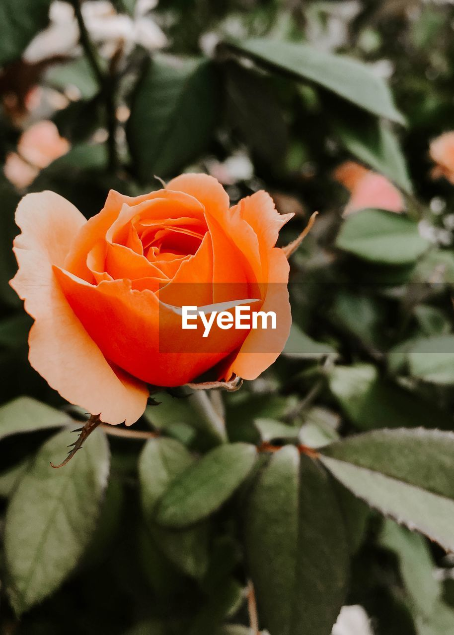 flower, flowering plant, plant, beauty in nature, petal, rose, freshness, fragility, flower head, rose - flower, vulnerability, inflorescence, close-up, growth, orange color, plant part, nature, leaf, focus on foreground, no people, outdoors, orange, spring