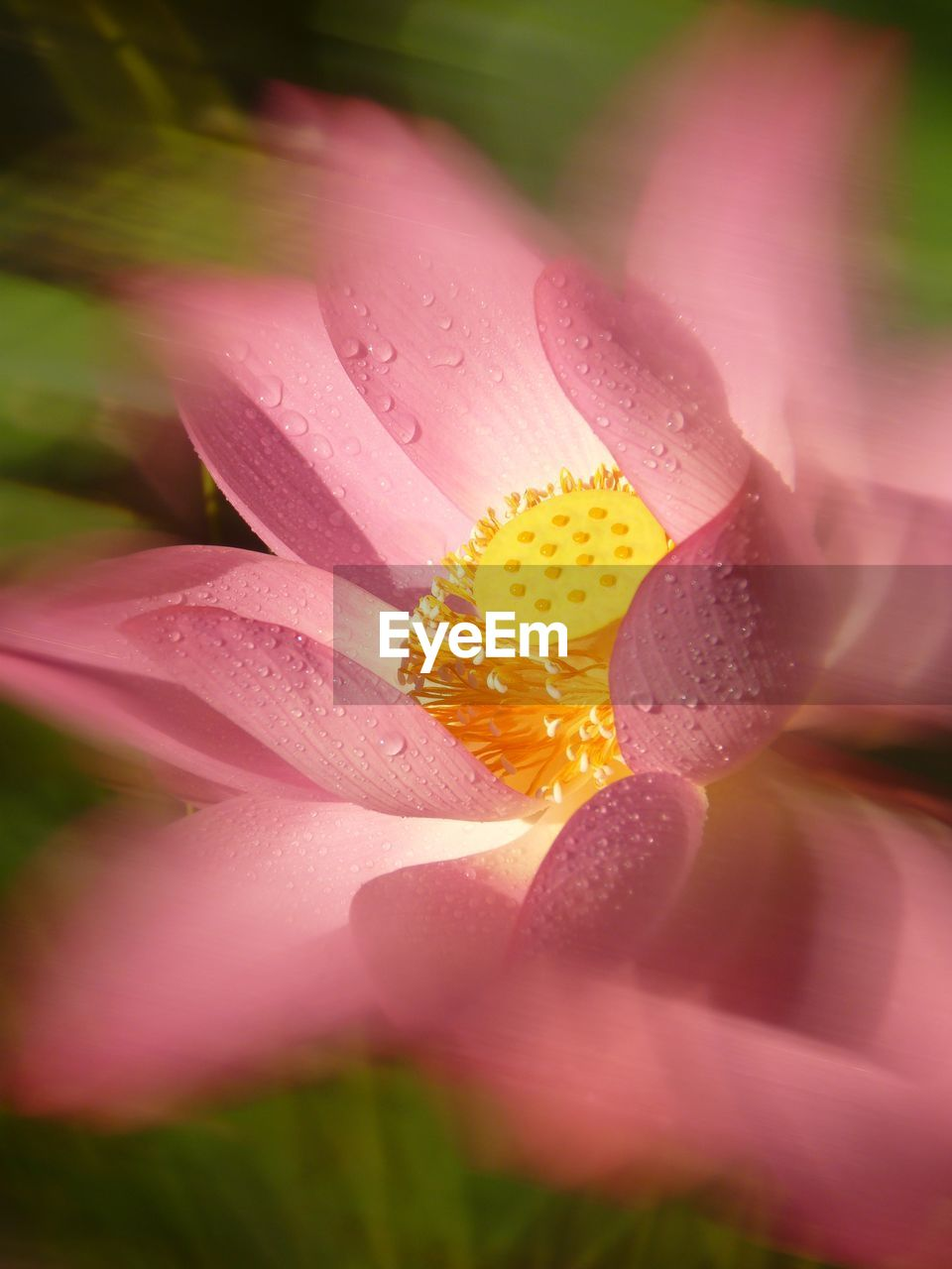 flower, petal, flower head, nature, drop, beauty in nature, fragility, wet, freshness, water, growth, plant, selective focus, no people, close-up, outdoors, pink color, blooming, day, day lily