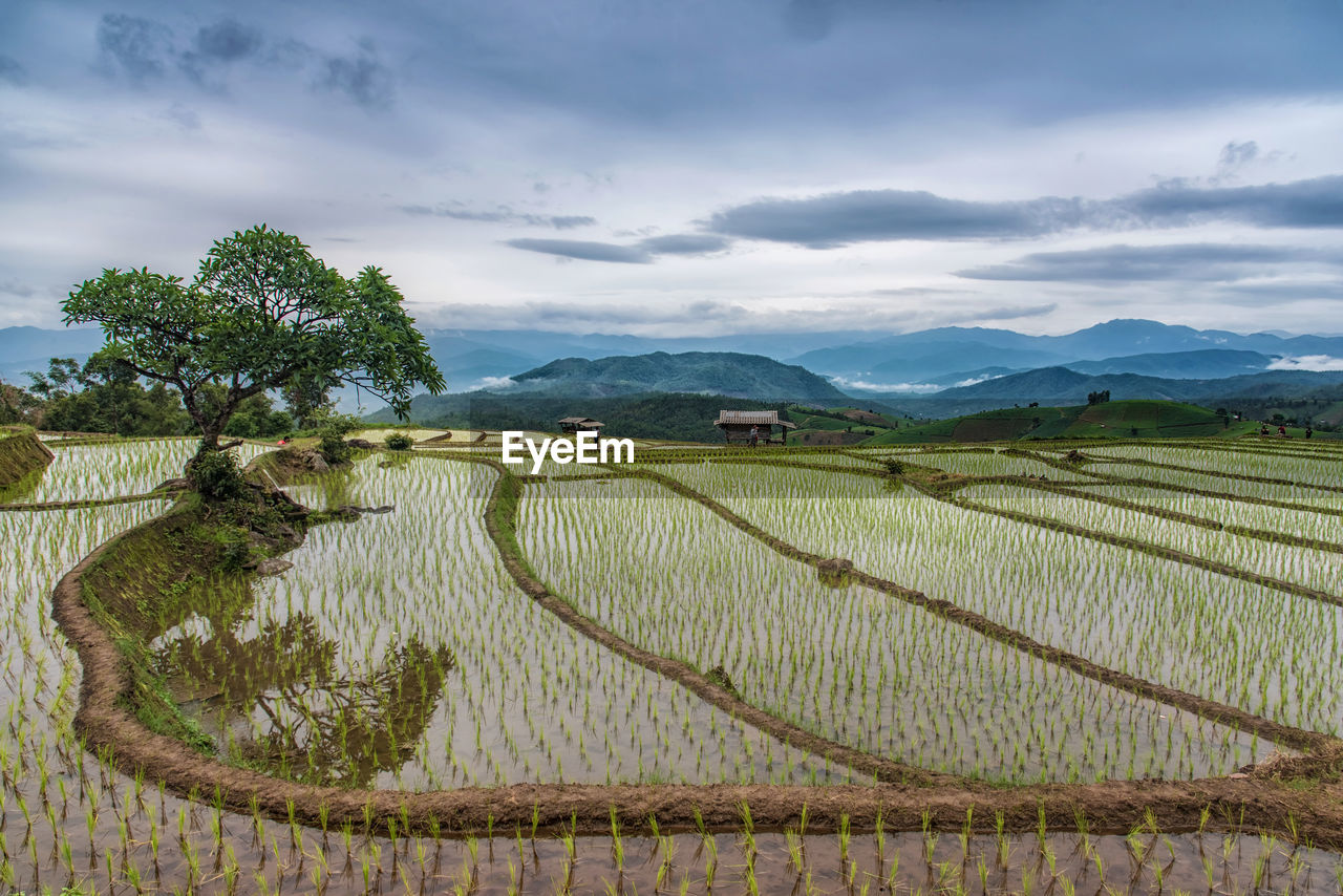 agriculture, plant, scenics - nature, growth, landscape, sky, cloud - sky, tranquil scene, field, tranquility, beauty in nature, environment, mountain, farm, rice - cereal plant, rural scene, rice paddy, land, crop, nature, no people, outdoors, plantation, winemaking