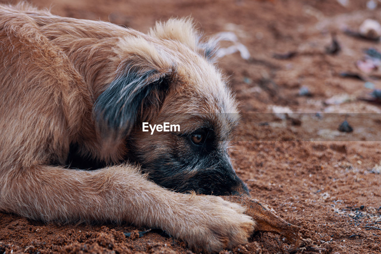 animal, animal themes, one animal, mammal, vertebrate, land, domestic, pets, domestic animals, dog, canine, brown, no people, field, animal body part, day, relaxation, nature, hair, focus on foreground, animal head