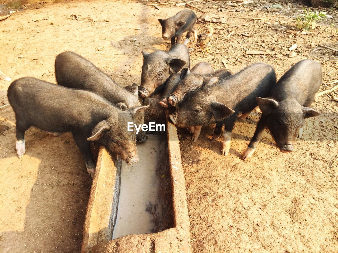 group of animals, animal themes, animal, mammal, animal wildlife, animals in the wild, vertebrate, high angle view, no people, day, domestic animals, nature, sunlight, young animal, pig, field, land, livestock, pets, domestic, outdoors, herbivorous, animal family