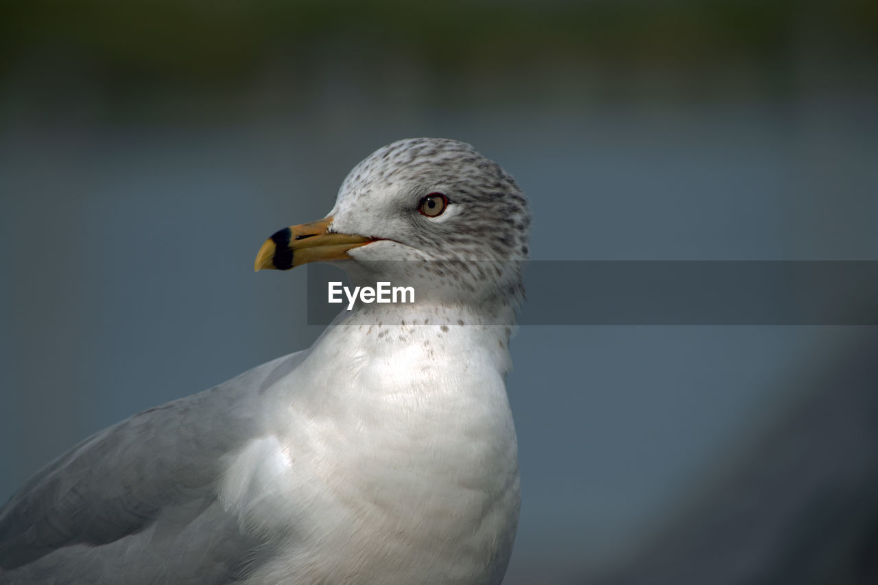 Close-Up Of Seagull Against Lake