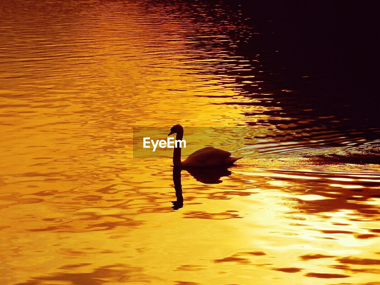 animals in the wild, animal themes, one animal, sunset, bird, water, nature, reflection, wildlife, animal wildlife, no people, waterfront, lake, silhouette, water bird, swimming, tranquility, beauty in nature, outdoors, swan, day