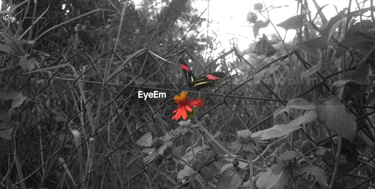 flower, isolated color, growth, nature, plant, no people, petal, tree, outdoors, field, blooming, day, red, fragility, beauty in nature, close-up, flower head