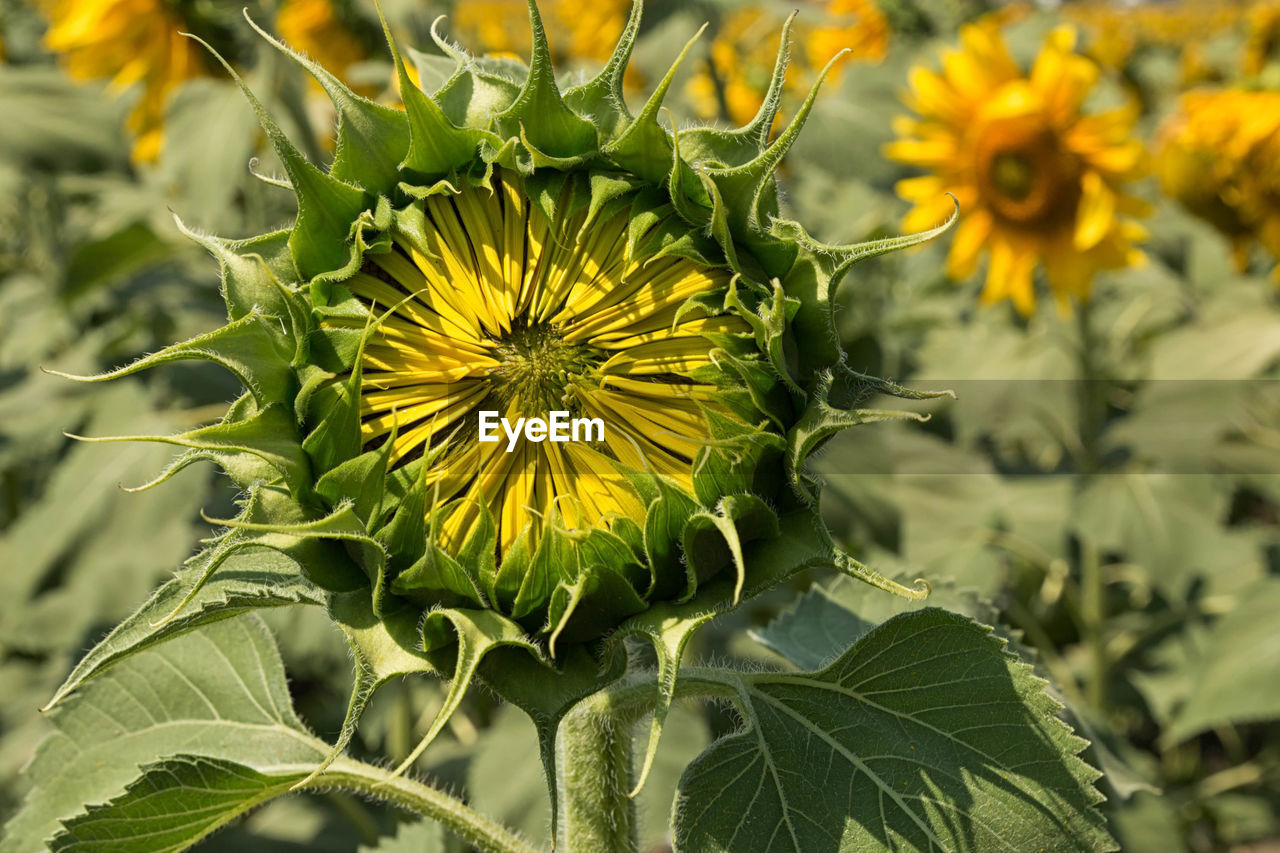 Close-up of sunflower bud growing against sky