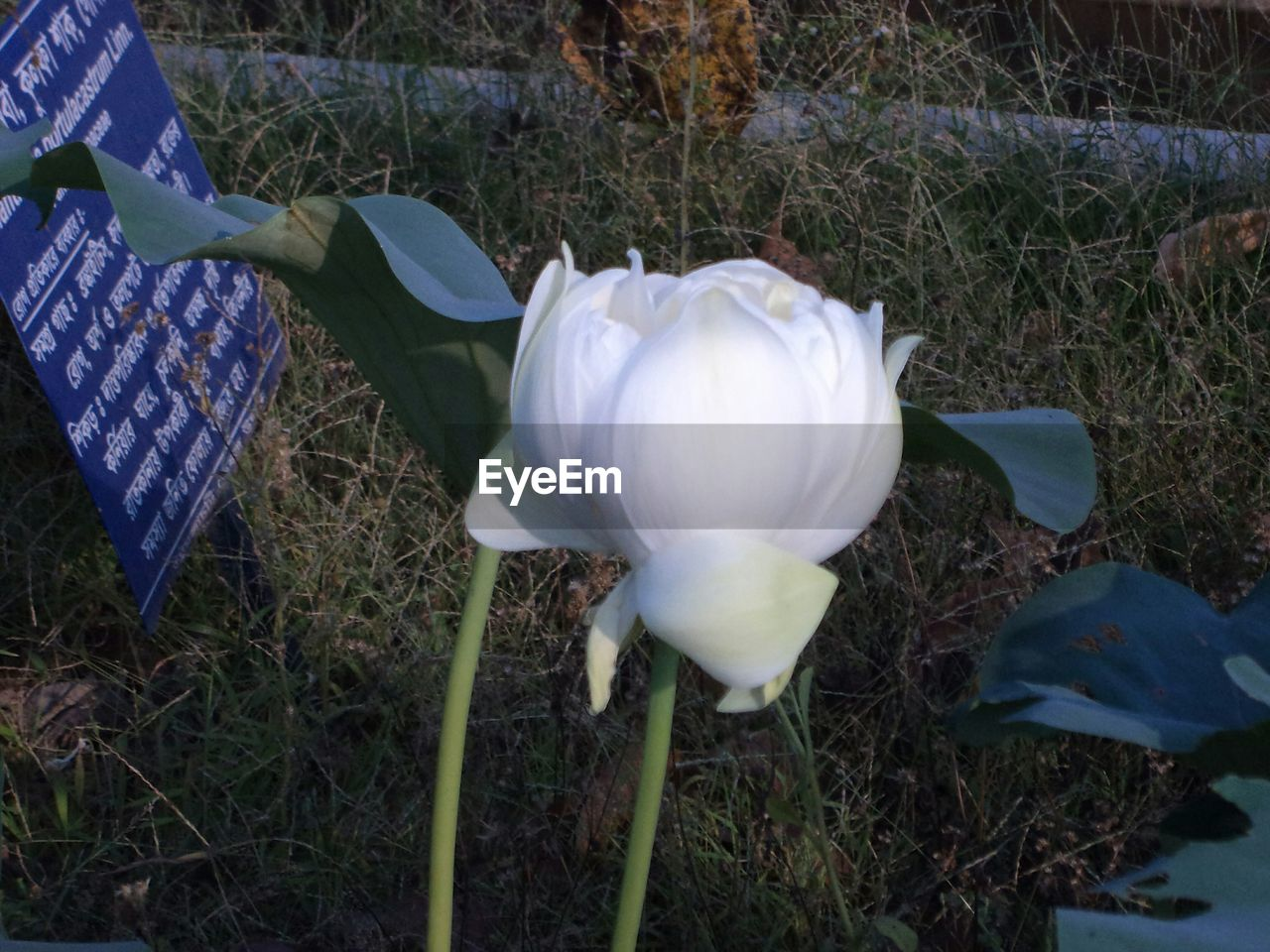 flower, petal, fragility, beauty in nature, growth, white color, nature, flower head, high angle view, day, plant, freshness, outdoors, no people, close-up, blooming, snowdrop, grass
