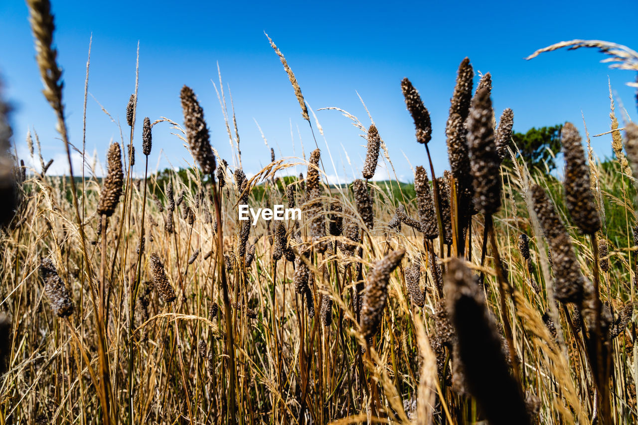 growth, plant, sky, agriculture, tranquility, field, cereal plant, farm, nature, land, landscape, rural scene, crop, beauty in nature, day, no people, close-up, clear sky, sunlight, blue, outdoors, stalk, plantation
