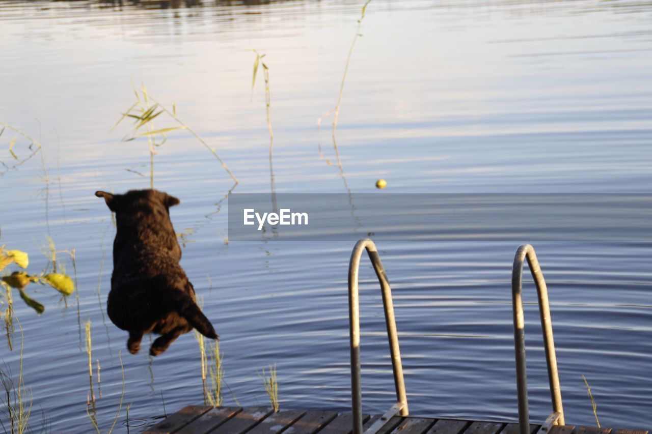 one animal, animal themes, domestic animals, lake, water, mammal, pets, no people, dog, outdoors, day, nature, black color, bird