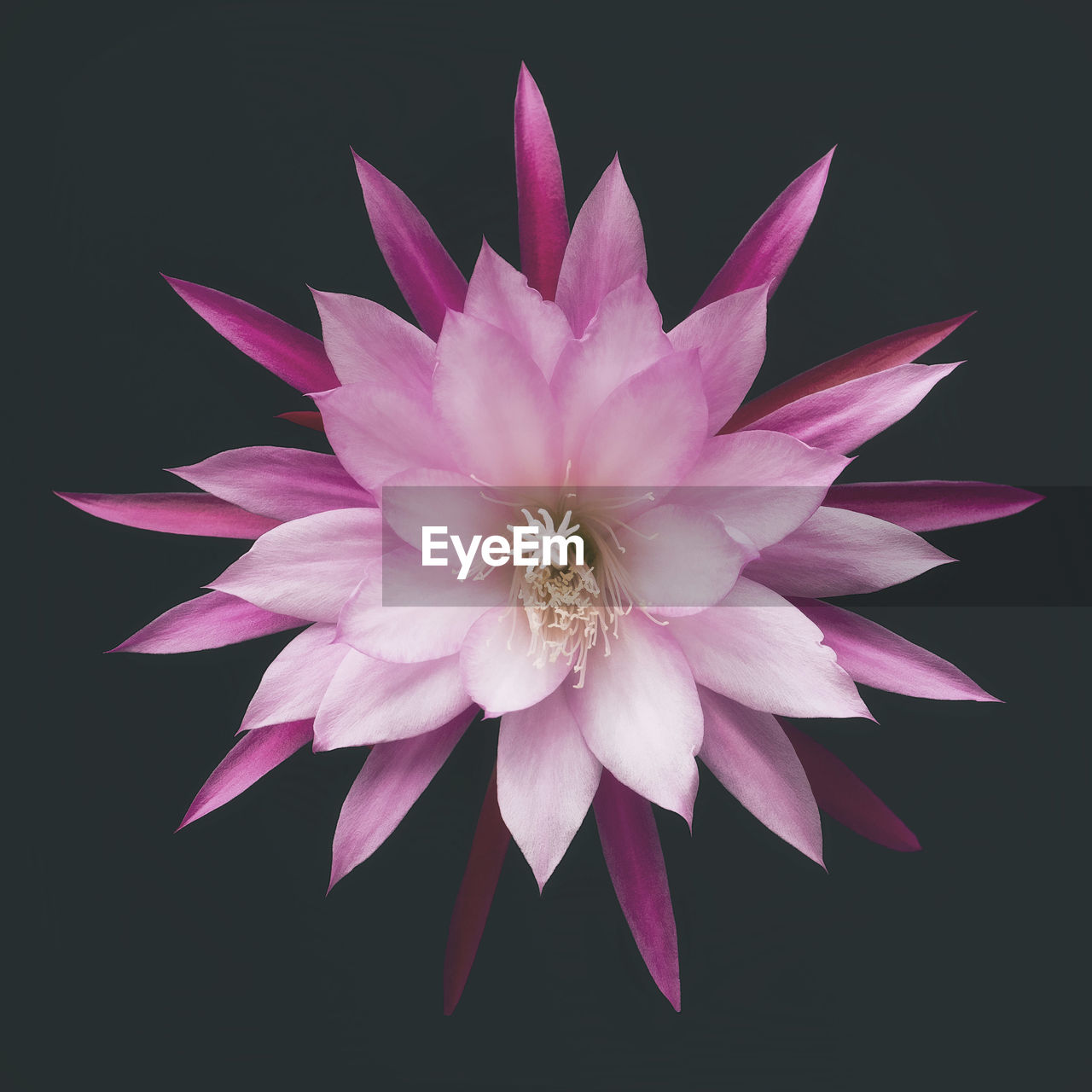 flower, flowering plant, petal, vulnerability, fragility, freshness, beauty in nature, inflorescence, flower head, plant, close-up, pink color, studio shot, nature, growth, water lily, no people, black background, indoors, pollen, purple, lotus water lily