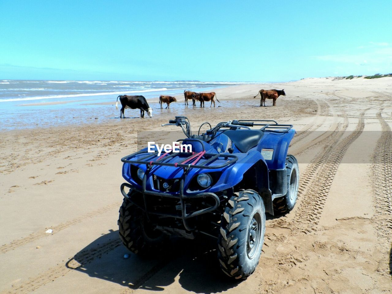 Quadbike and cows at beach against blue sky on sunny day
