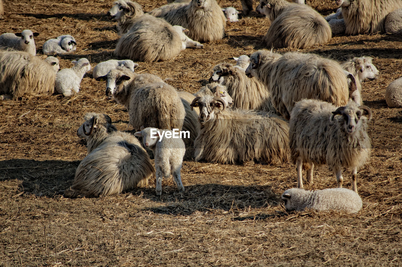 mammal, animal themes, animal, group of animals, livestock, vertebrate, domestic animals, large group of animals, agriculture, pets, domestic, animal wildlife, sheep, land, nature, flock of sheep, no people, day, animals in the wild, field, herbivorous, outdoors, herd