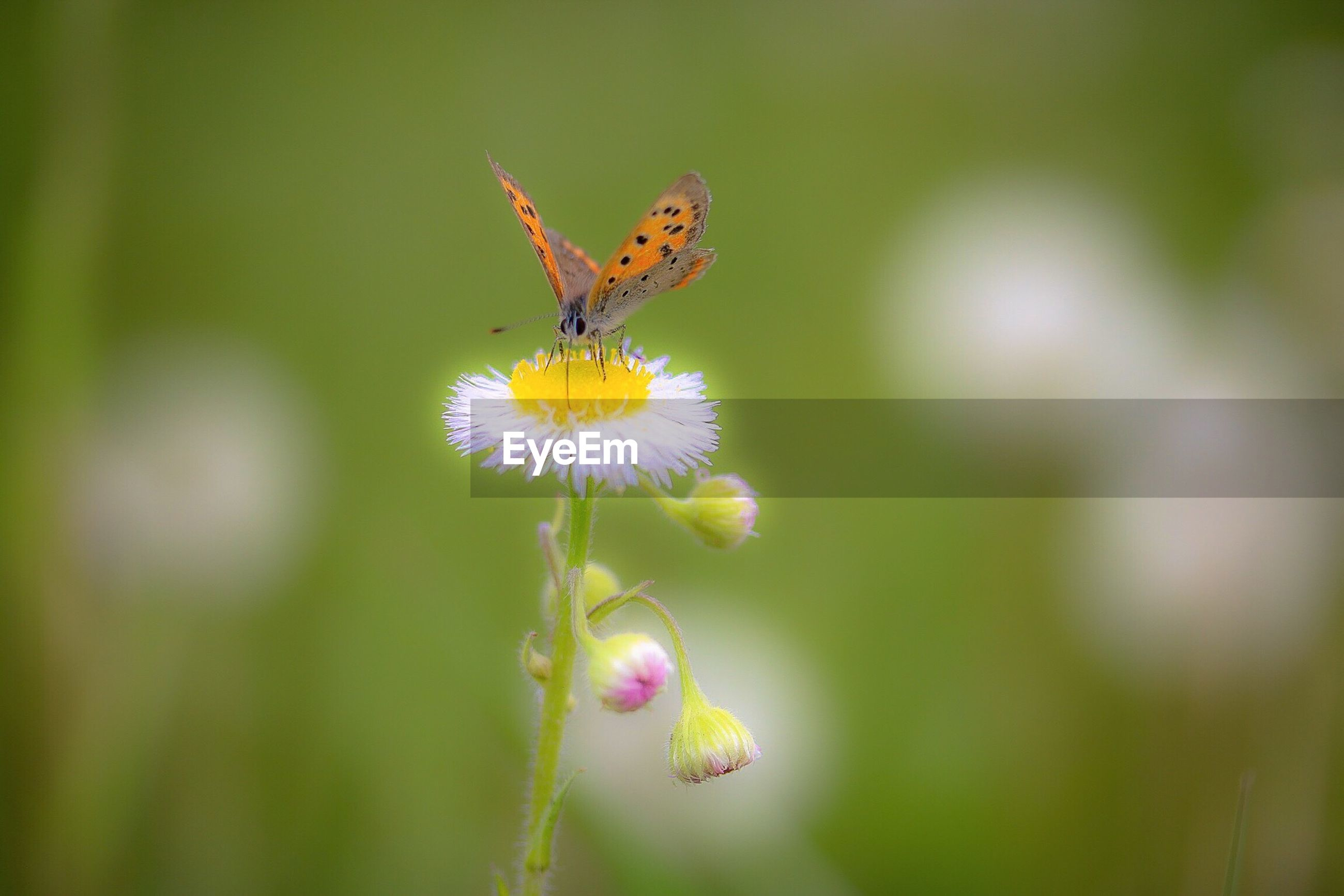 insect, flower, animal themes, one animal, animals in the wild, wildlife, pollination, fragility, freshness, close-up, focus on foreground, petal, beauty in nature, growth, nature, symbiotic relationship, flower head, plant, bee, selective focus