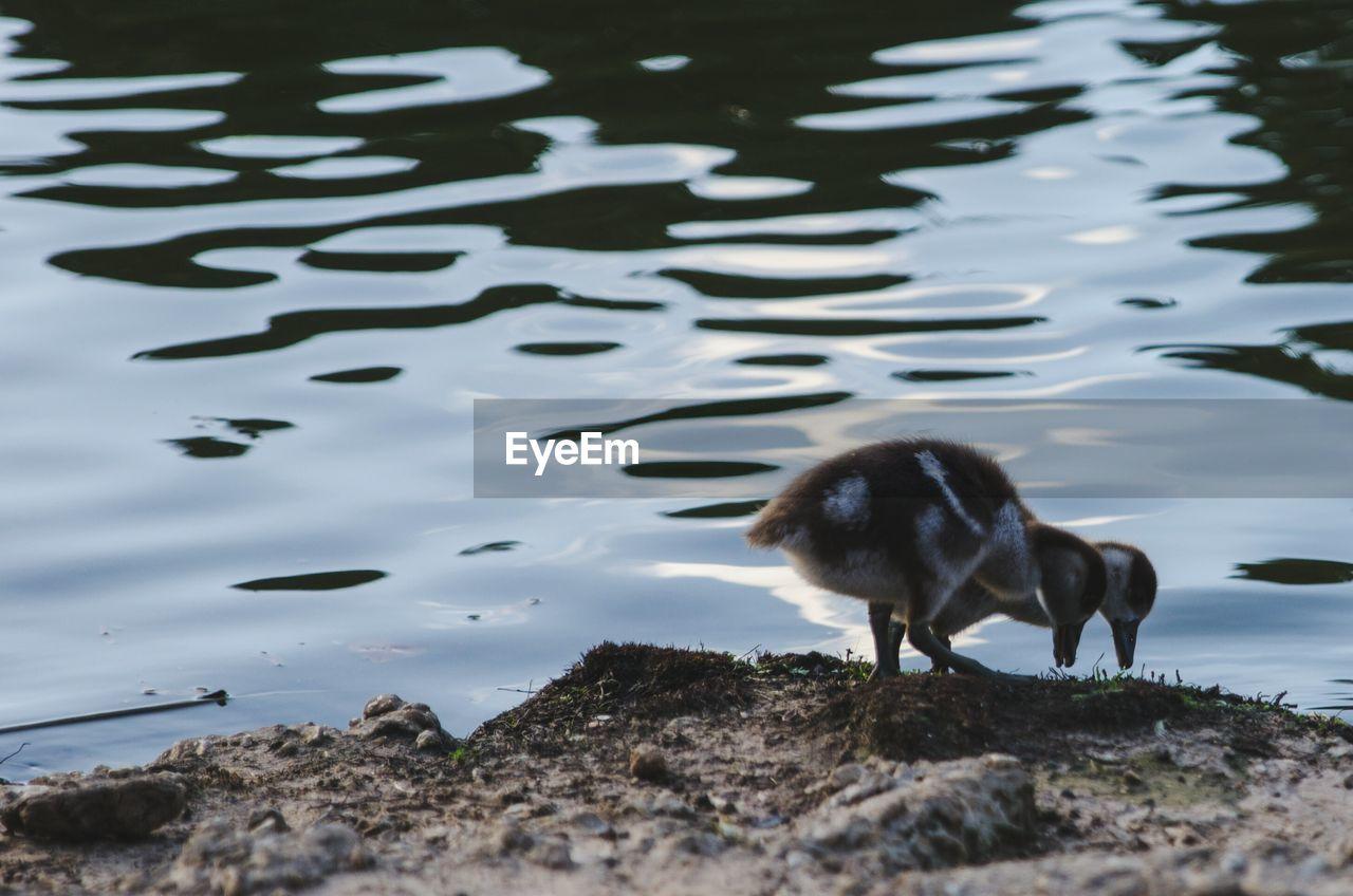 Ducklings Perching At Riverbank