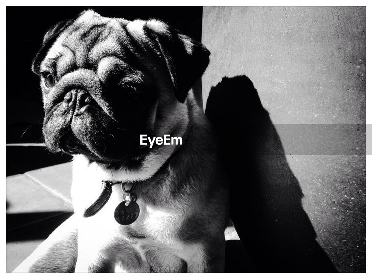 one animal, animal themes, canine, dog, animal, domestic, pets, mammal, domestic animals, vertebrate, auto post production filter, transfer print, close-up, pug, no people, looking, looking away, animal body part, animal head, lap dog, small