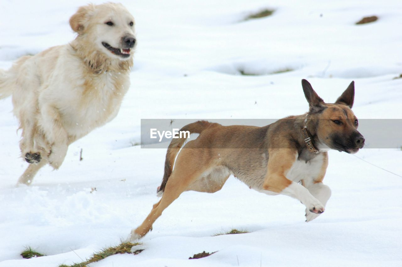 dog, snow, winter, pets, cold temperature, domestic animals, weather, mammal, animal themes, nature, outdoors, day, field, no people