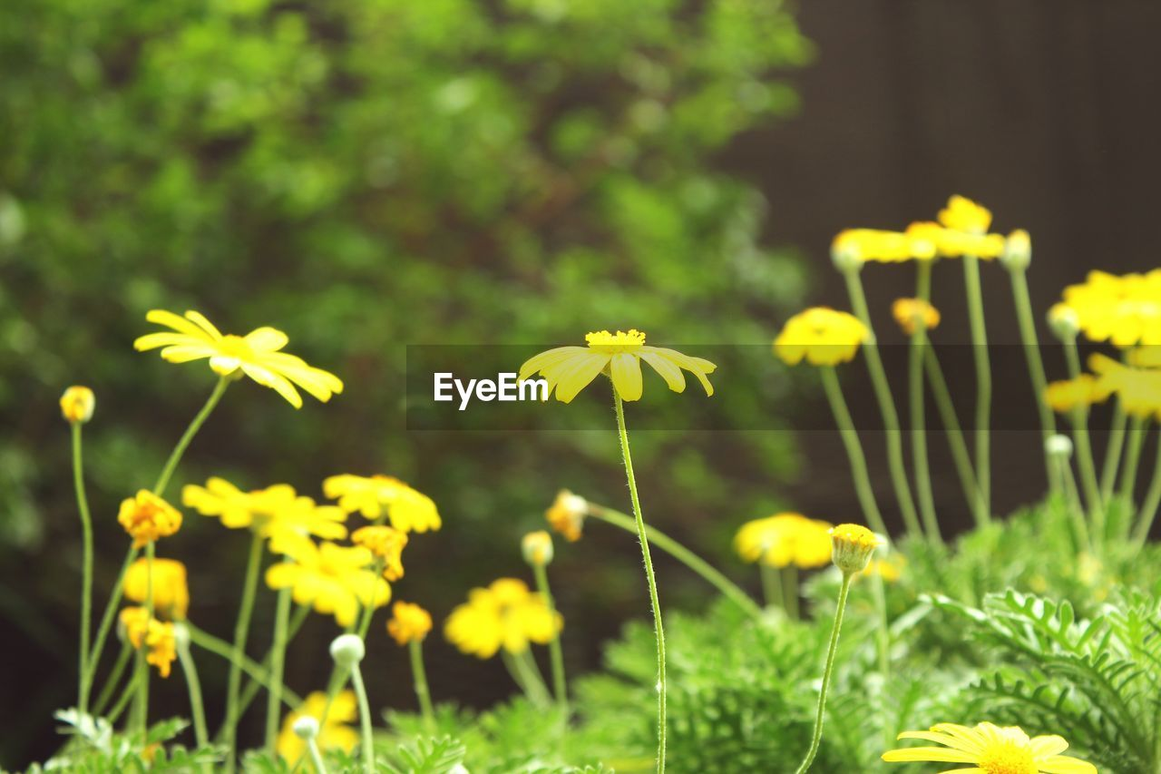 Close-up of yellow daisy flowers in garden