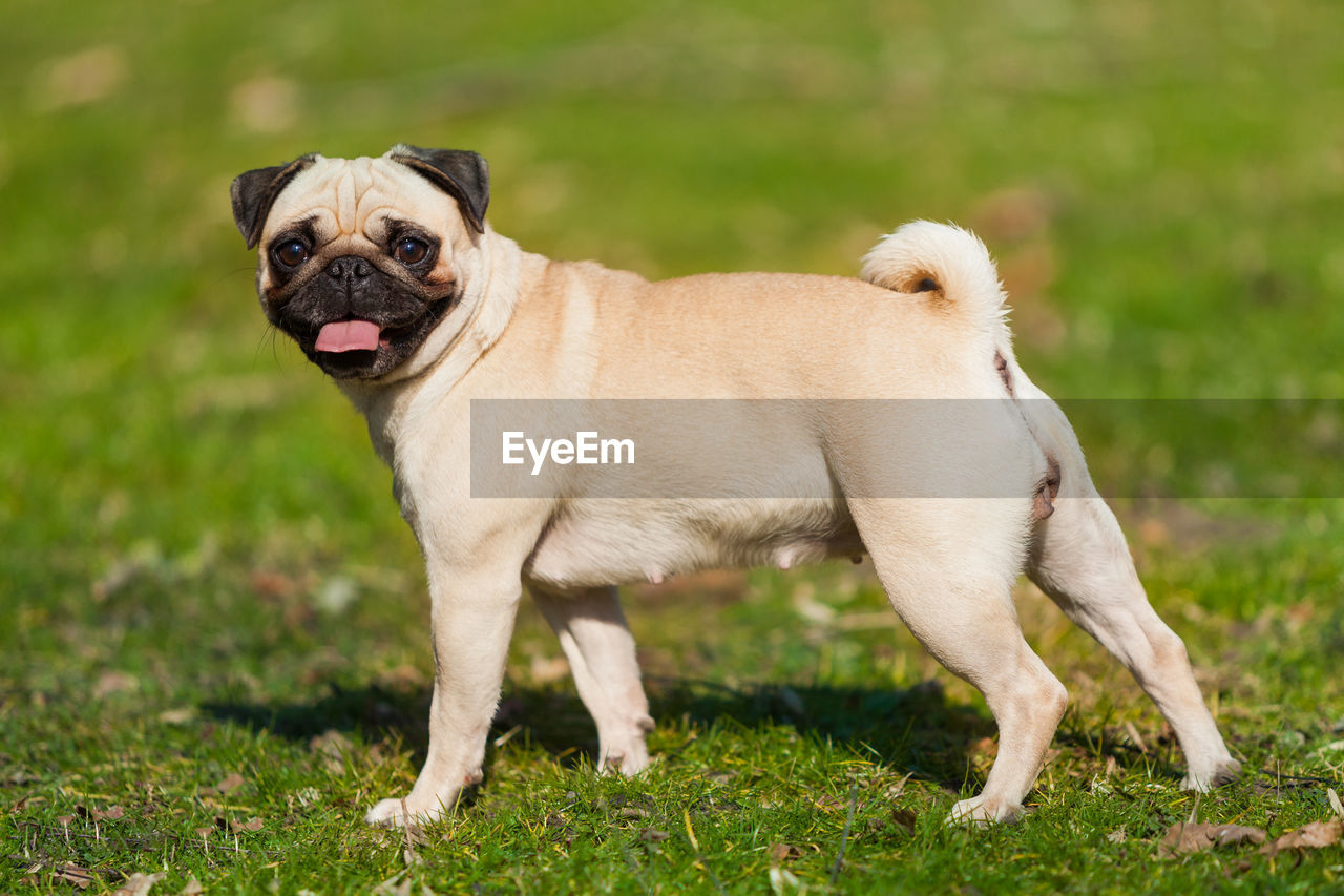 dog, canine, animal themes, one animal, animal, mammal, domestic animals, domestic, pets, grass, vertebrate, lap dog, field, pug, land, plant, portrait, day, no people, standing, small, panting, mouth open
