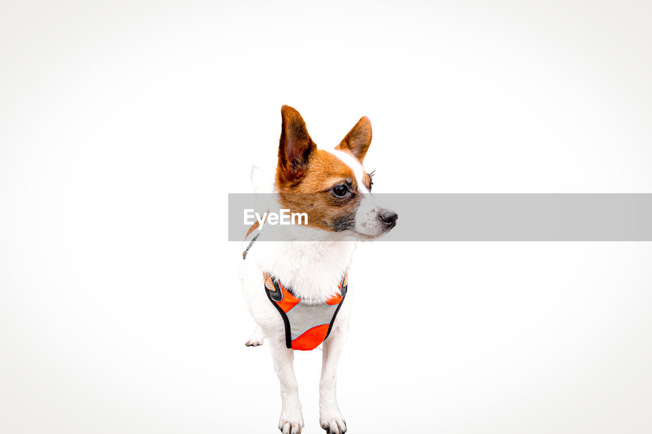 SMALL DOG LOOKING AWAY OVER WHITE BACKGROUND