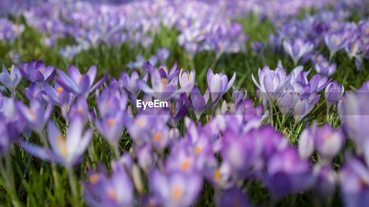flower, flowering plant, plant, vulnerability, freshness, fragility, beauty in nature, growth, purple, selective focus, close-up, petal, nature, field, flower head, inflorescence, no people, day, land, outdoors, lavender, springtime, crocus, flowerbed