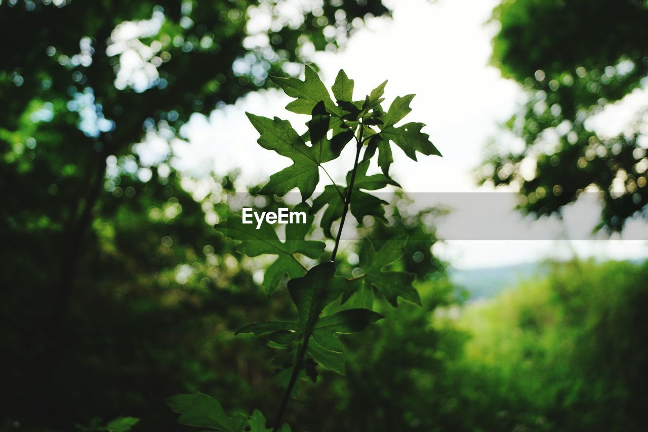 plant, leaf, plant part, growth, green color, nature, beauty in nature, focus on foreground, day, tree, close-up, no people, selective focus, outdoors, tranquility, land, freshness, leaves, plant stem, forest